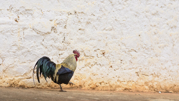 Bhutan, Rooster walking near Wangditse temple - HL000155