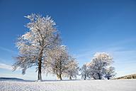 Germany, Baden Wuerttemberg, Wind bent beech trees in winter - ELF000038