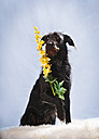 Germany, Baden Wuerttemberg, Mixed breed dog holding flowers on carpet, close up - SLF000029