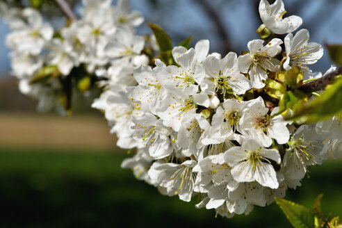 Germany, Baden Wuerttemberg, Blossom apple tree, close up - BSTF000047
