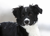 Germany,	Baden Wuerttemberg, Border collie puppy, close up - SLF000040