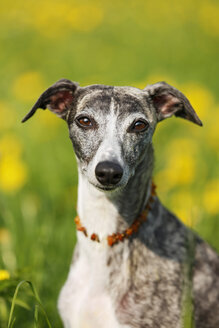 Germany, Baden Wuerttemberg, Whippet dog in meadow, close up - SLF000079