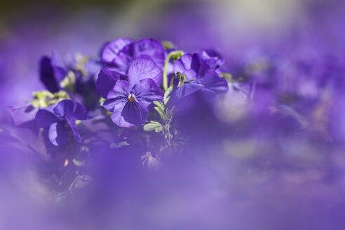 Germany, Hesse, Pansy flowers, close up - SRF000088