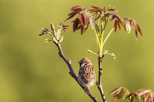 Germany, Hesse, Tree sparrow perching on branch, close up - SRF000098