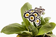Primula auricula flowers against white background, close up - CSF019143