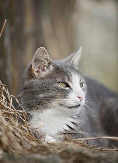 Germany, Baden Wuerttemberg, Cat lying on hay, close up - SLF000078