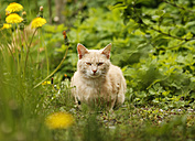 Germany, Baden Wuerttemberg, Cat sitting in meadow - SLF000056