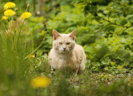 Germany, Baden Wuerttemberg, Cat sitting in meadow - SLF000056