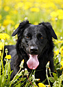 Germany, Baden Wuerttemberg, Dog standing in meadow, close up - SLF000052