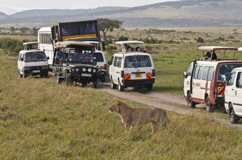 Africa, Kenya, Lion in front of safari vehicles in Maasai Mara National Park - CB000102