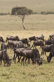Africa, Kenya, Group of Blue Wildebeest in Maasai Mara National Park - CB000099