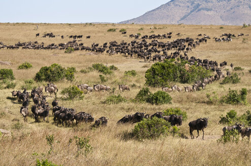 Africa, Kenya, Group of Blue Wildebeest at Maasai Mara National Park - CB000094