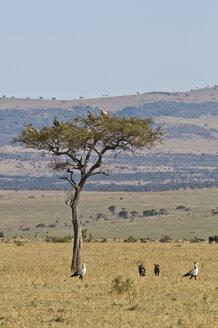 Africa, Kenya, Vultures on Umbrella Thorn Acacia tree at Maasai Mara National Park - CB000092