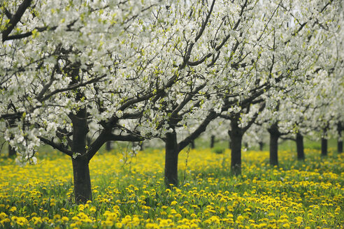 Germany, Bavaria, Row of cherry trees in orchid - RUEF000994