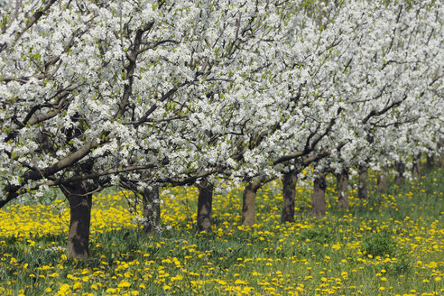 Germany, Bavaria, Row of cherry trees in orchid - RUEF000996