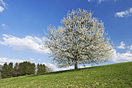 Germany, Bavaria, Cherry tree blossom in field - RUE001071