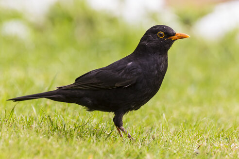 Germany, Hesse, Blackbird perching on grass - SR000134