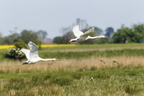 Germany, Schleswig Holstein, Mute swan birds flying - SR000167