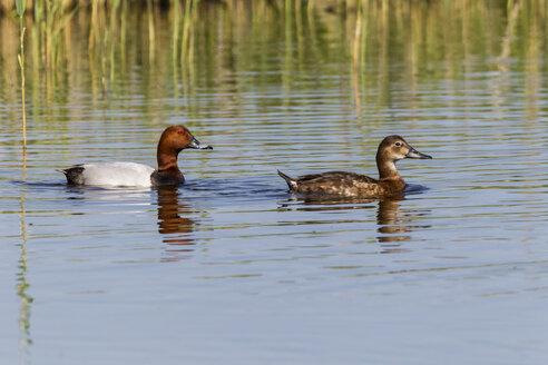 Germany, Schleswig Holstein, Pochard birds swimming in water - SR000184
