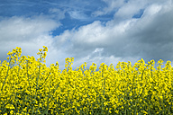 Germany, Baden Wuerttemberg, View of Yellow rape field - ELF000144
