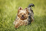 Germany, Baden Wuerttemberg, Yorkshire Terrier dog running on grass - SLF000105