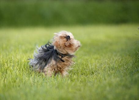 Germany, Baden Wuerttemberg, Yorkshire Terrier dog shaking - SLF000110