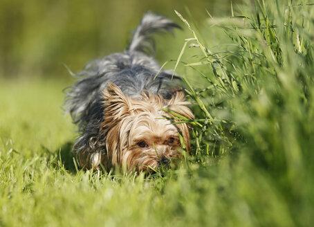 Germany, Baden Wuerttemberg, Yorkshire Terrier dog on grass - SLF000113