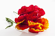 Fringed red tulip flowers on white background, close up - CSF019291