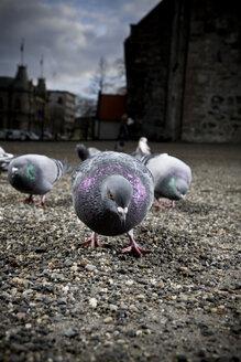 Norway, Trondheim, Pigeons - CNF000002