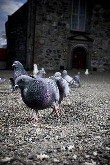 Norway, Trondheim, Pigeons - CNF000004