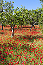 Spain, Majorca, View of Almond and poppy trees blossoming - AMF000323