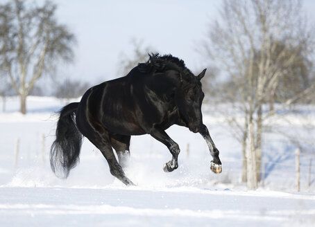 Germany, Baden Wuerttemberg, Black horse running in snow - SLF000144