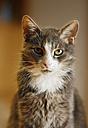 Germany, Baden Wuerttemberg, Cat , close up - SLF000101