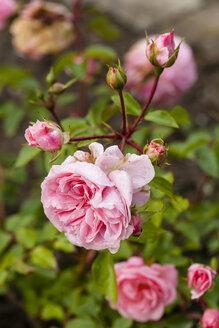 Germany, Hesse, Rose flower - SR000223