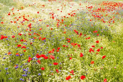 Germany, Hesse, Corn poppy flower - SR000230