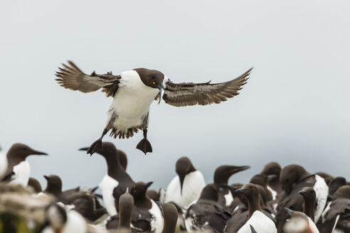 England, Northumberland, Guillemots at Farne Islands - SR000275