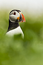 England, Northumberland, Puffins perching on grass - SR000261
