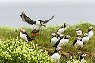 England, Northumberland, View of Puffins perching and flying - SR000269