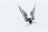 England, Northumberland, View of Arctic Tern flying - SR000264