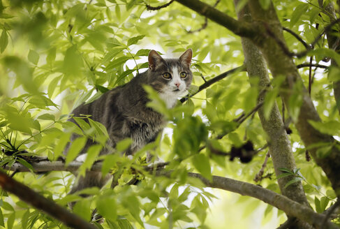 Germany, Baden Wuerttemberg, Cat climbing on tree, close up - SLF000120