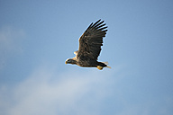 Norway, White-tailed Eagle flying against sky - HWOF000023