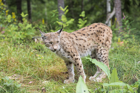 Norway, Lynx standing and looking away - HWO000028