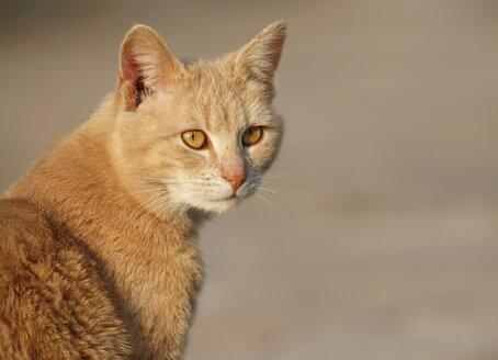 Germany, Baden Wuerttemberg, Satteldorf, Domestic cat, close up - SLF000175