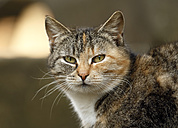 Germany, Baden Wuerttemberg, Satteldorf, Domestic cat, close up - SLF000176
