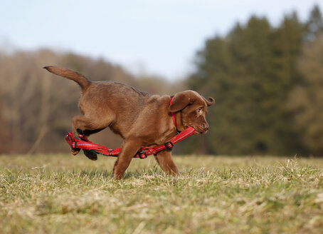 Portrait of labrador puppy running with red dog harness on a meadow - SLF000351