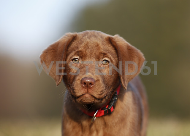 Portrait of brown labrador puppy - SLF000354 - Silke Klewitz-Seemann/Westend61