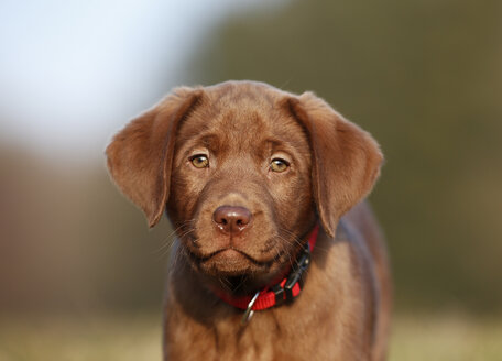 Portrait of brown labrador puppy - SLF000354