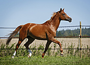Germany, Baden Wuerttemberg, Constance, View of Trakehner mare trotting in meadow - SLF000153
