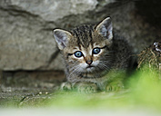 Germany, Baden Wuerttemberg, Kitten sitting, close up - SLF000192