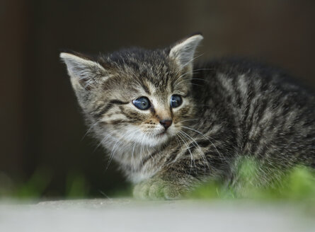Germany, Baden Wuerttemberg, Kitten looking away, close up - SLF000214